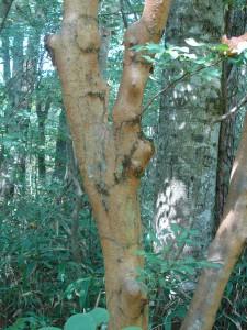 Stewartia serrata Japan 2007 201 (2)