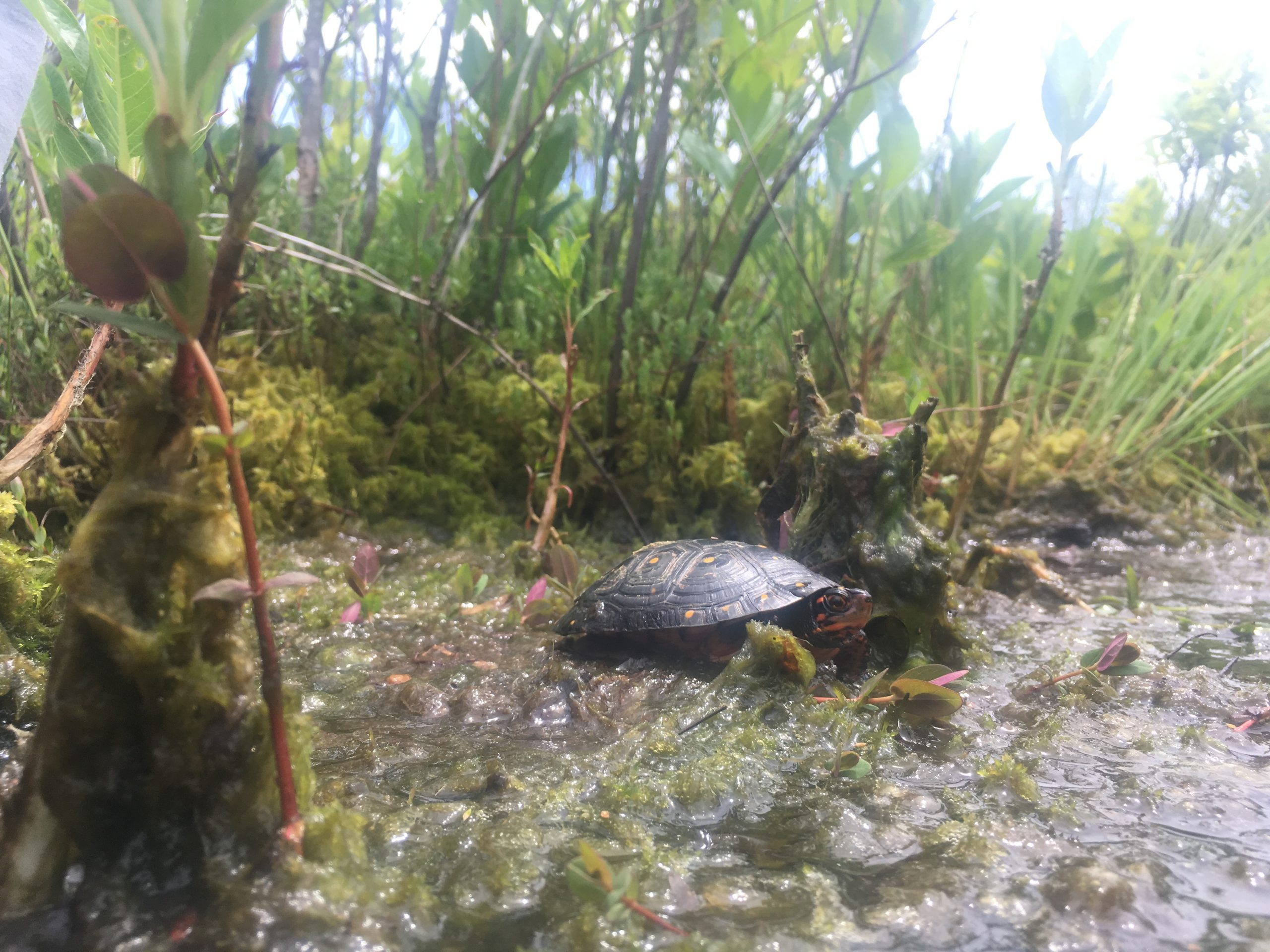 Summer Lecture Series: Traveling Tales of the Elusive Spotted Turtle (In-Person Lecture) @ The Polly Hill Arboretum Far Barn